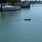 Dolphin playing in our Bay